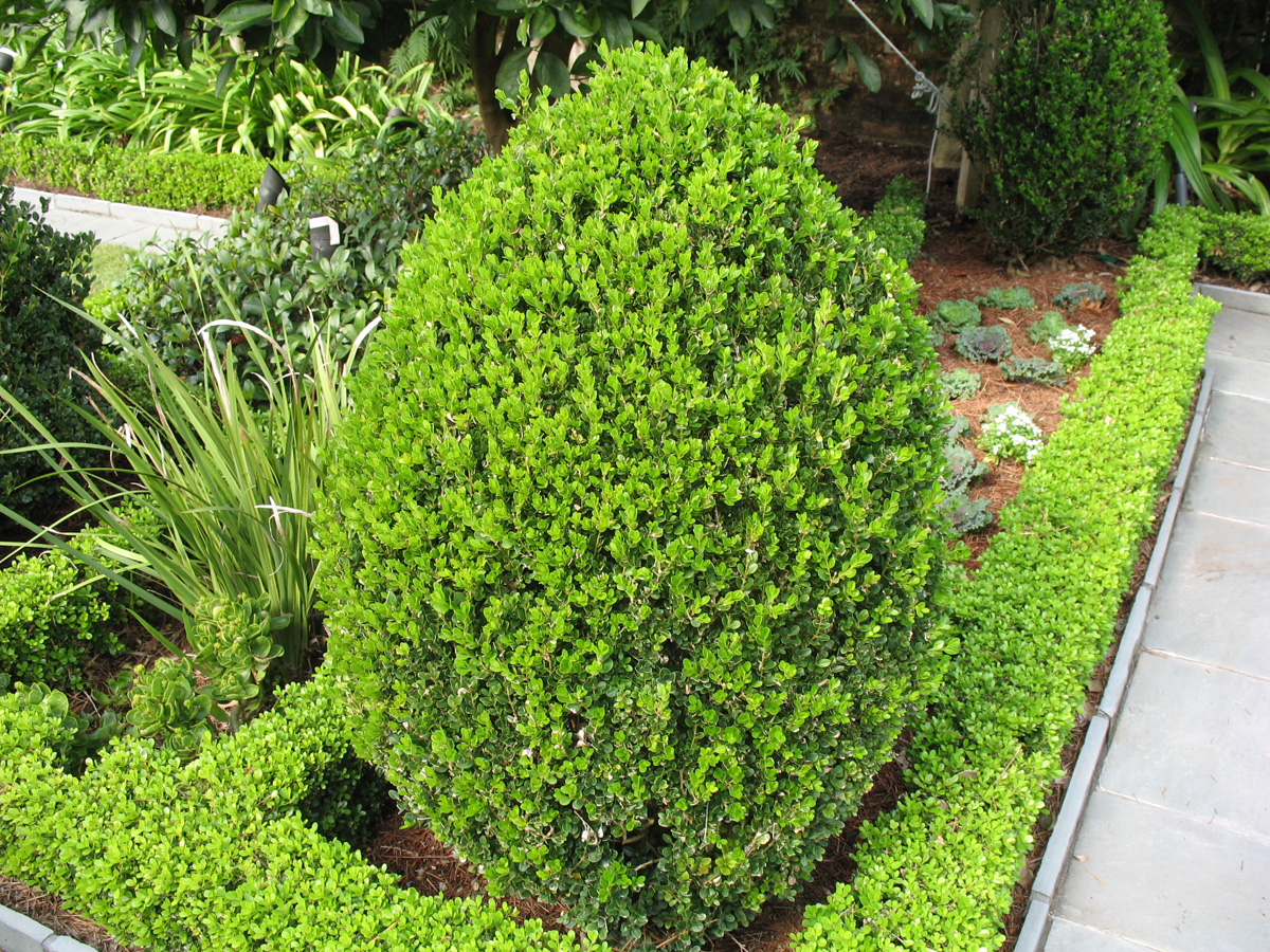 Buxus microphylla 'Wintergreen' / Buxus microphylla 'Wintergreen'