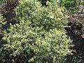 Variegated Boxwood / Buxus sempervirens