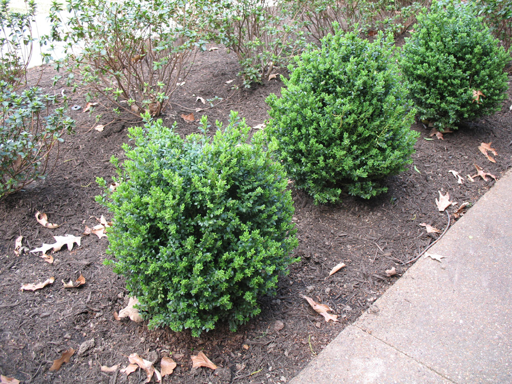 Buxus x 'Green Mountain'  / Buxus x 'Green Mountain'