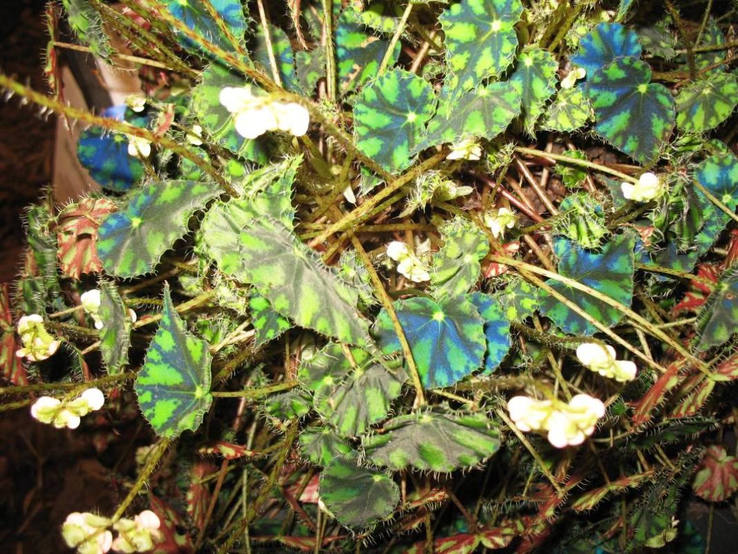 Begonia bowerae    / Begonia bowerae