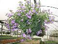 Giant Purple Bacopa / Bacopa sutera