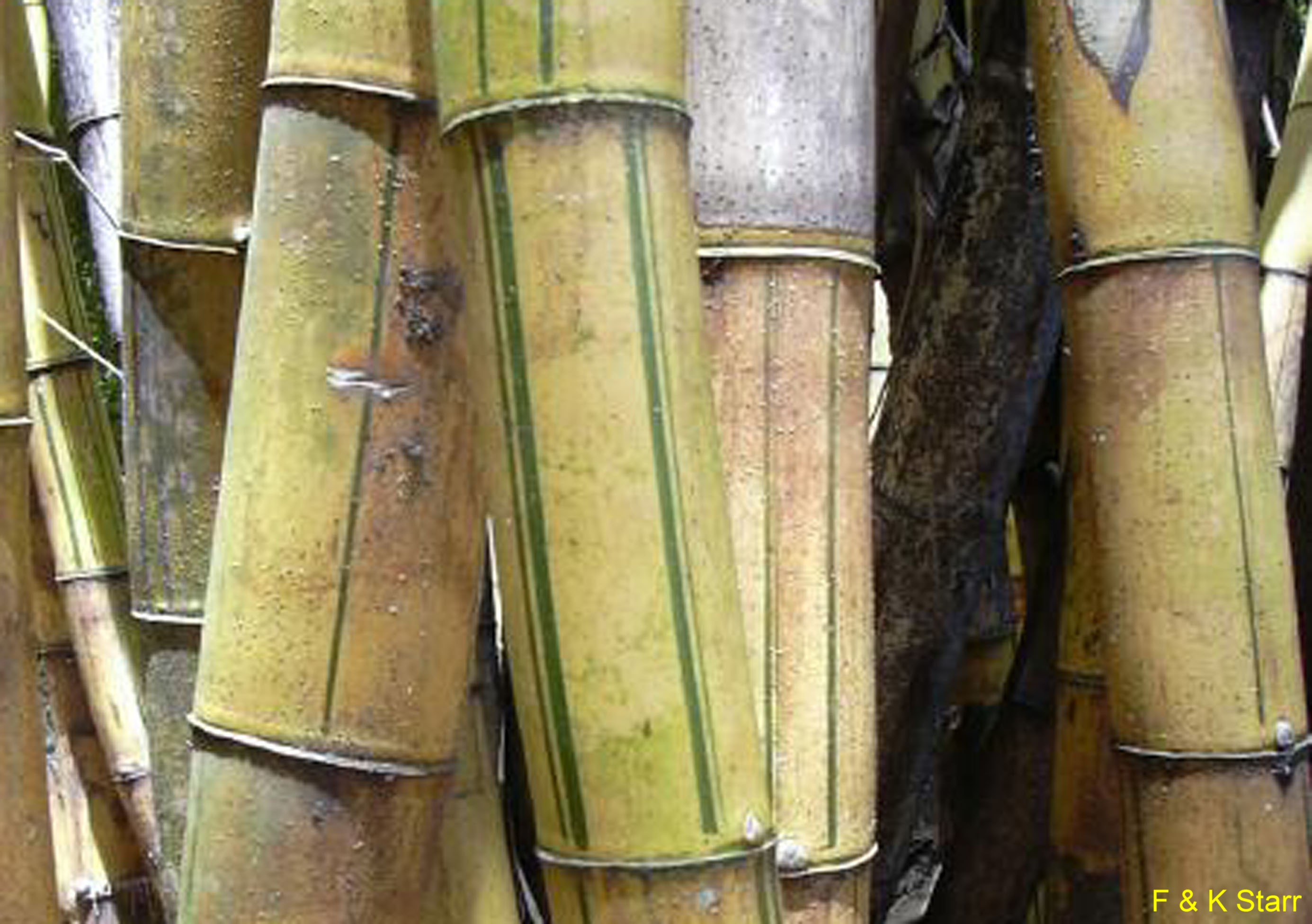 Bambusa vulgaris / Bambusa vulgaris