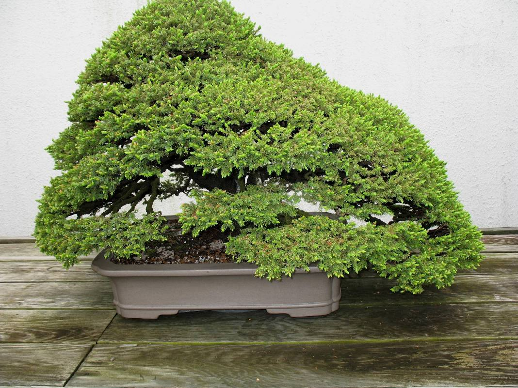 Bonsai Specimens / Bonsai Specimens