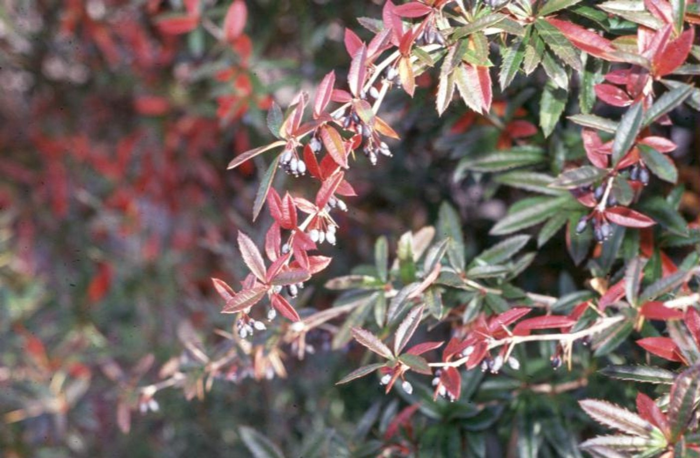 Berberis julianae / Berberis julianae