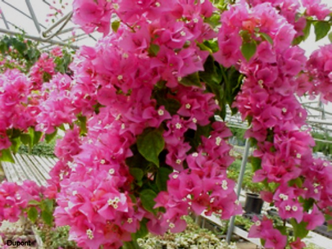 Bougainvillea 'Helen Johnson'   / Bougainvillea 'Helen Johnson'