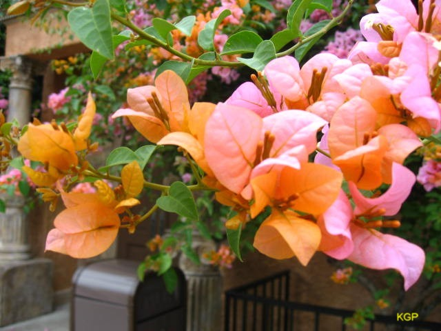 Bougainvillea spectabilis 'Orange King'   / Bougainvillea spectabilis 'Orange King'
