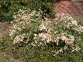Hawaiian Snow Bush / Breynia nivosa