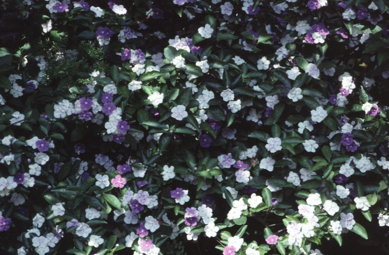 Brunfelsia pauciflora / Yesterday,Today,Tomorrow