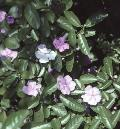 Yesterday, Today, Tomorrow / Brunfelsia australis