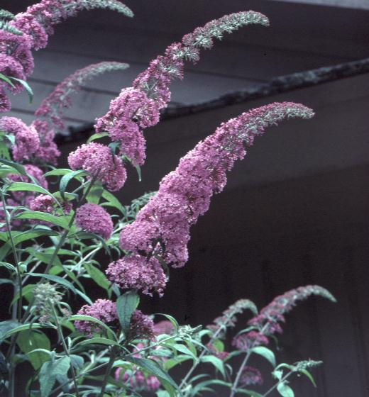Buddleia alternifolia / Buddleia alternifolia