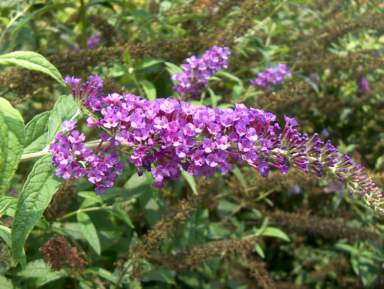 Online plant guide buddleia davidii potties purple potties buddleia davidii potties purple buddleia davidii potties mightylinksfo
