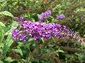 Potties Purple Butterfly Bush / Buddleia davidii