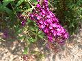Royal Red Butterfly Bush / Buddleia davidii