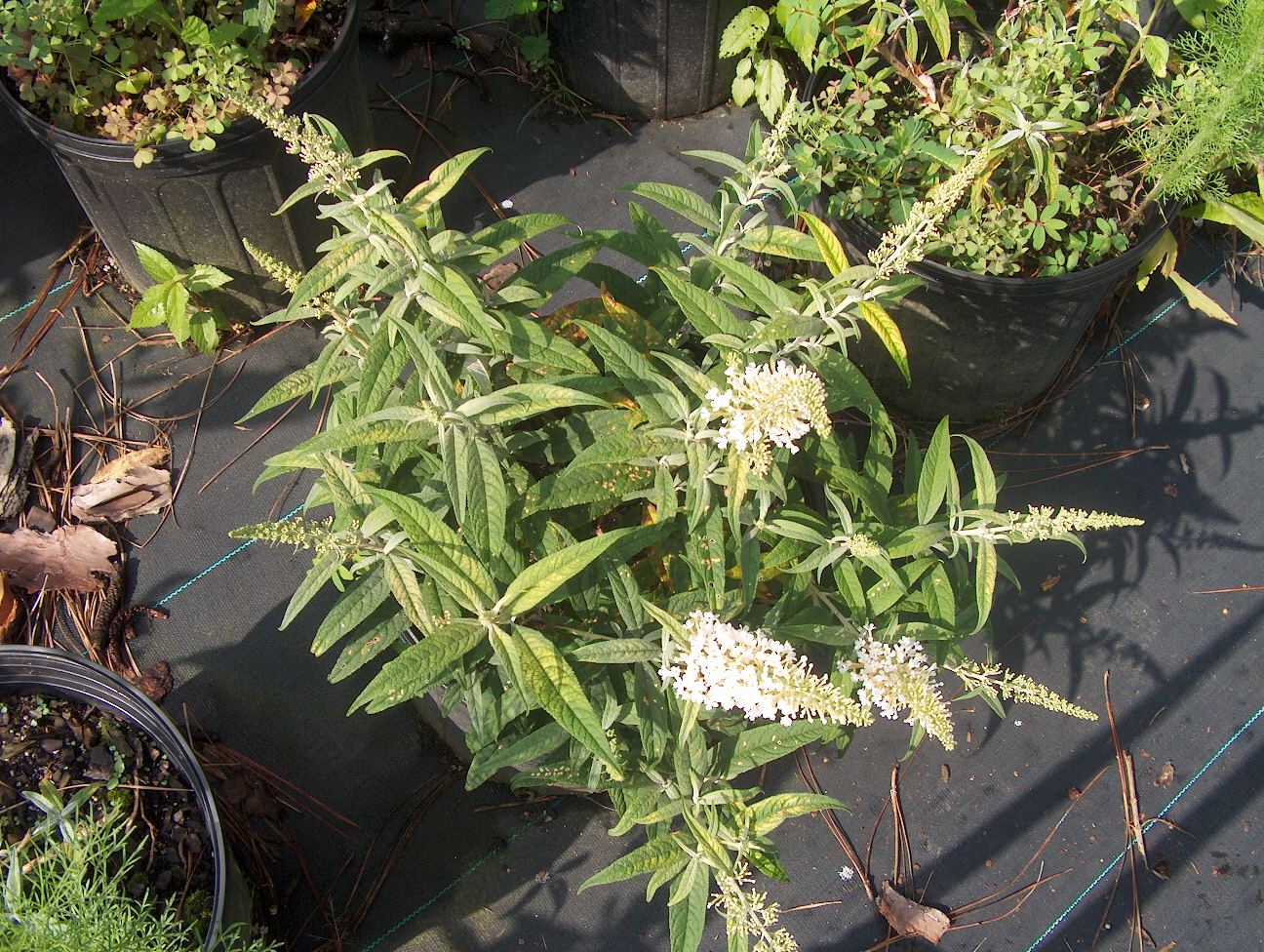 Buddleia davidii 'White Ball'   / Buddleia davidii 'White Ball'