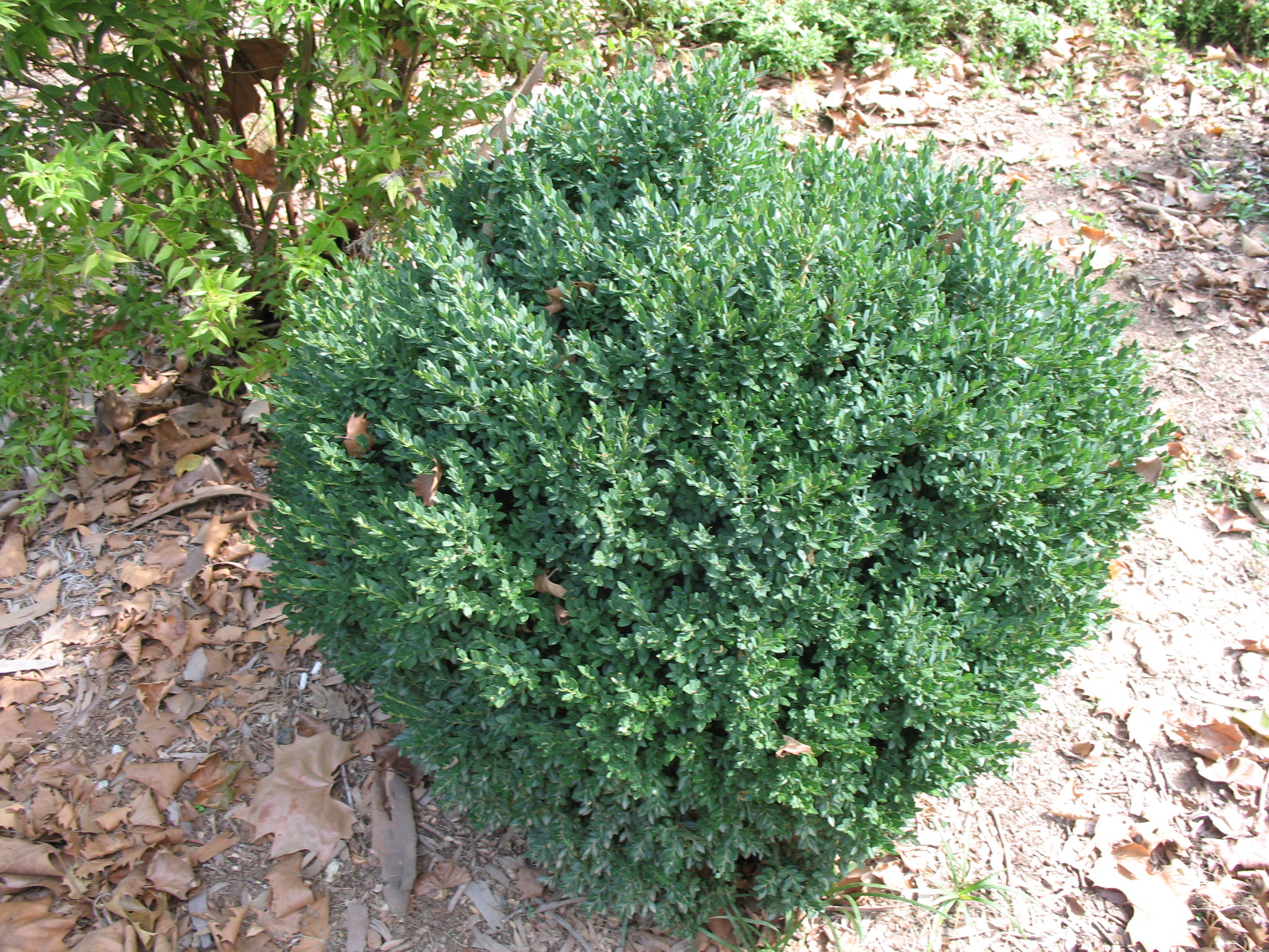 Buxus 'Green Mound'   / Buxus 'Green Mound'