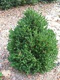 Green Mountain Boxwood / Buxus