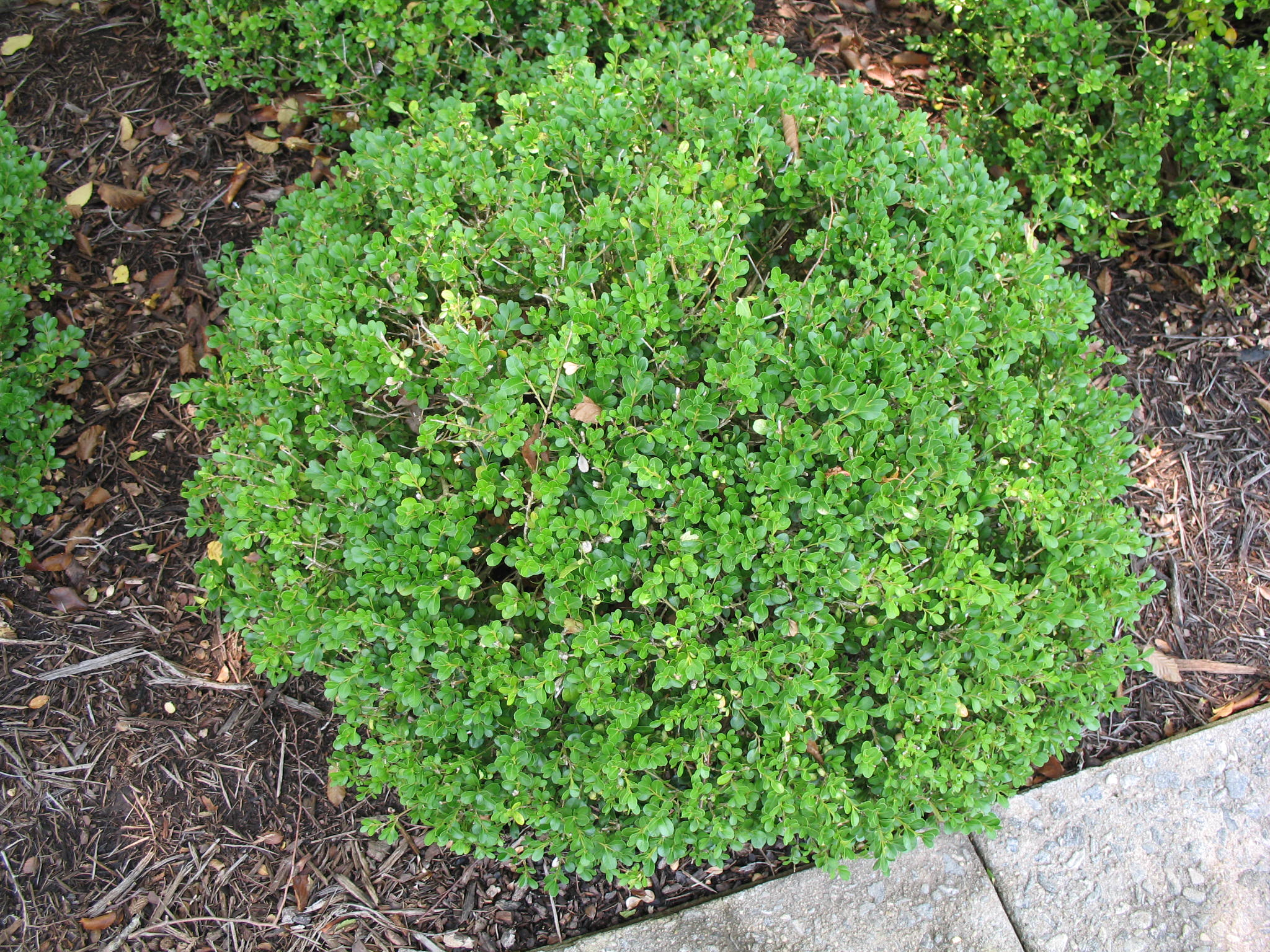 Buxus microphylla 'Green Pillow'   / Buxus microphylla 'Green Pillow'