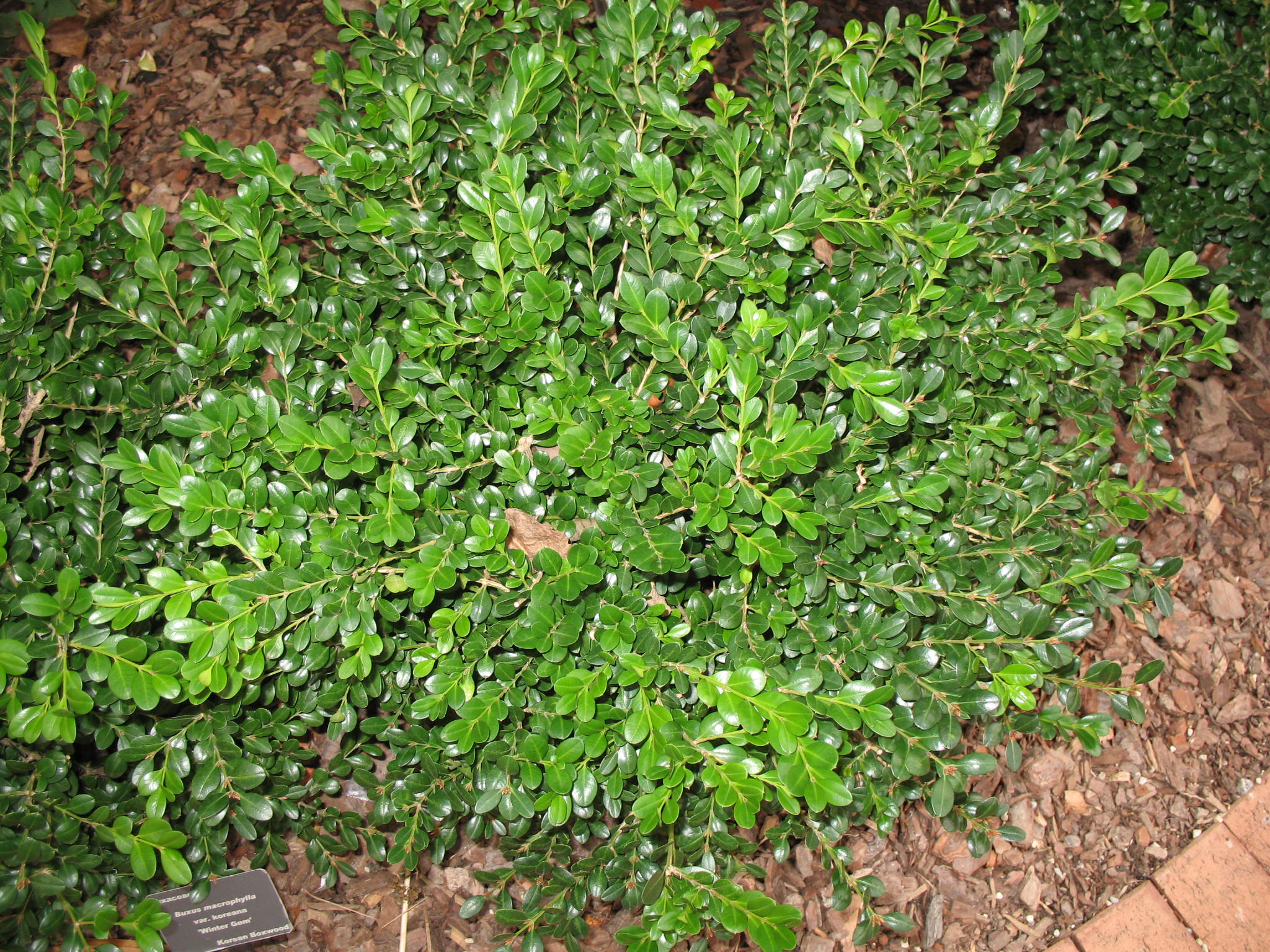 Buxus microphylla var. koreana 'Winter Gem'   / Buxus microphylla var. koreana 'Winter Gem'