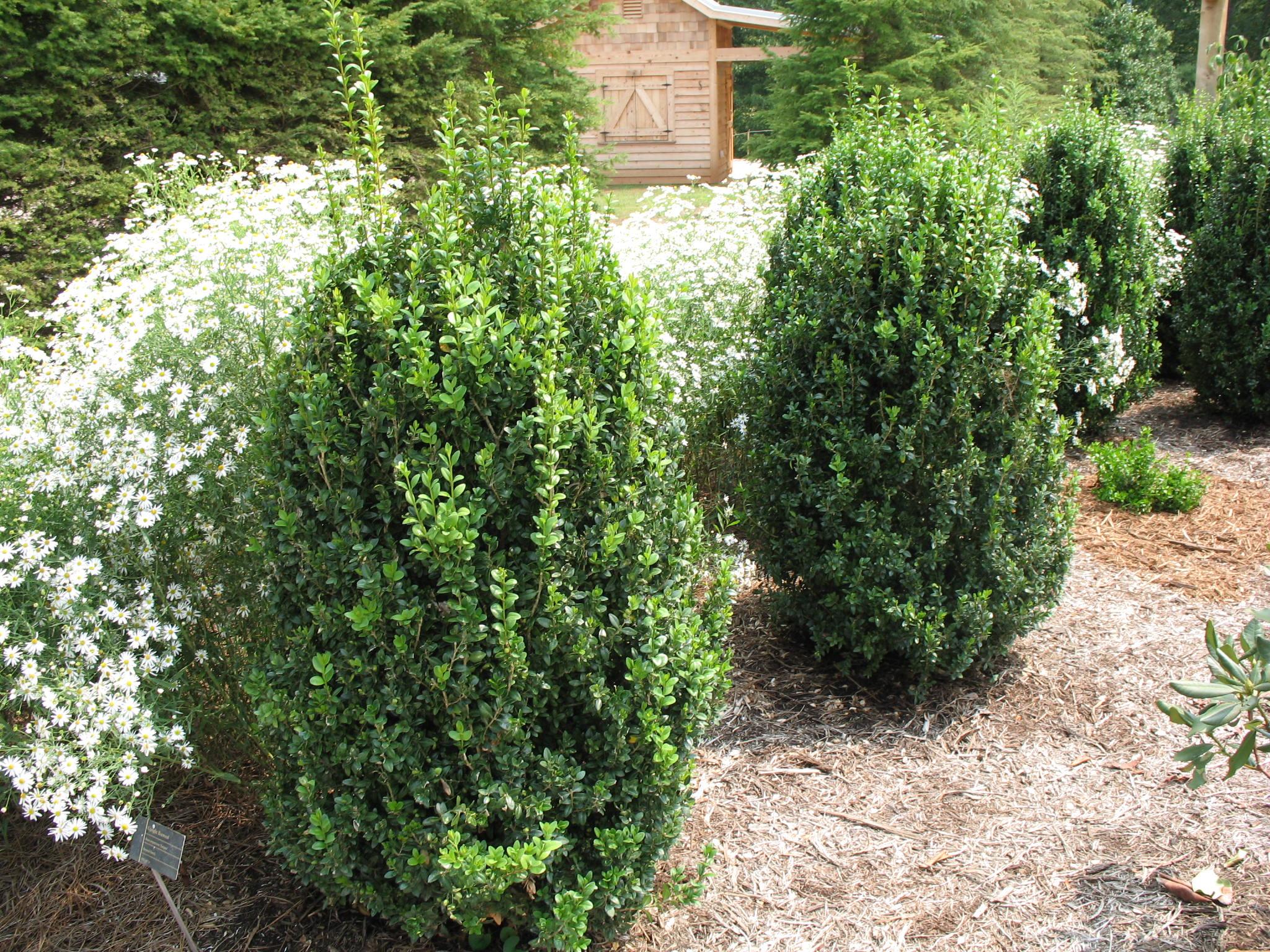 Buxus sempervirens 'Fastigiata'    / Buxus sempervirens 'Fastigiata'
