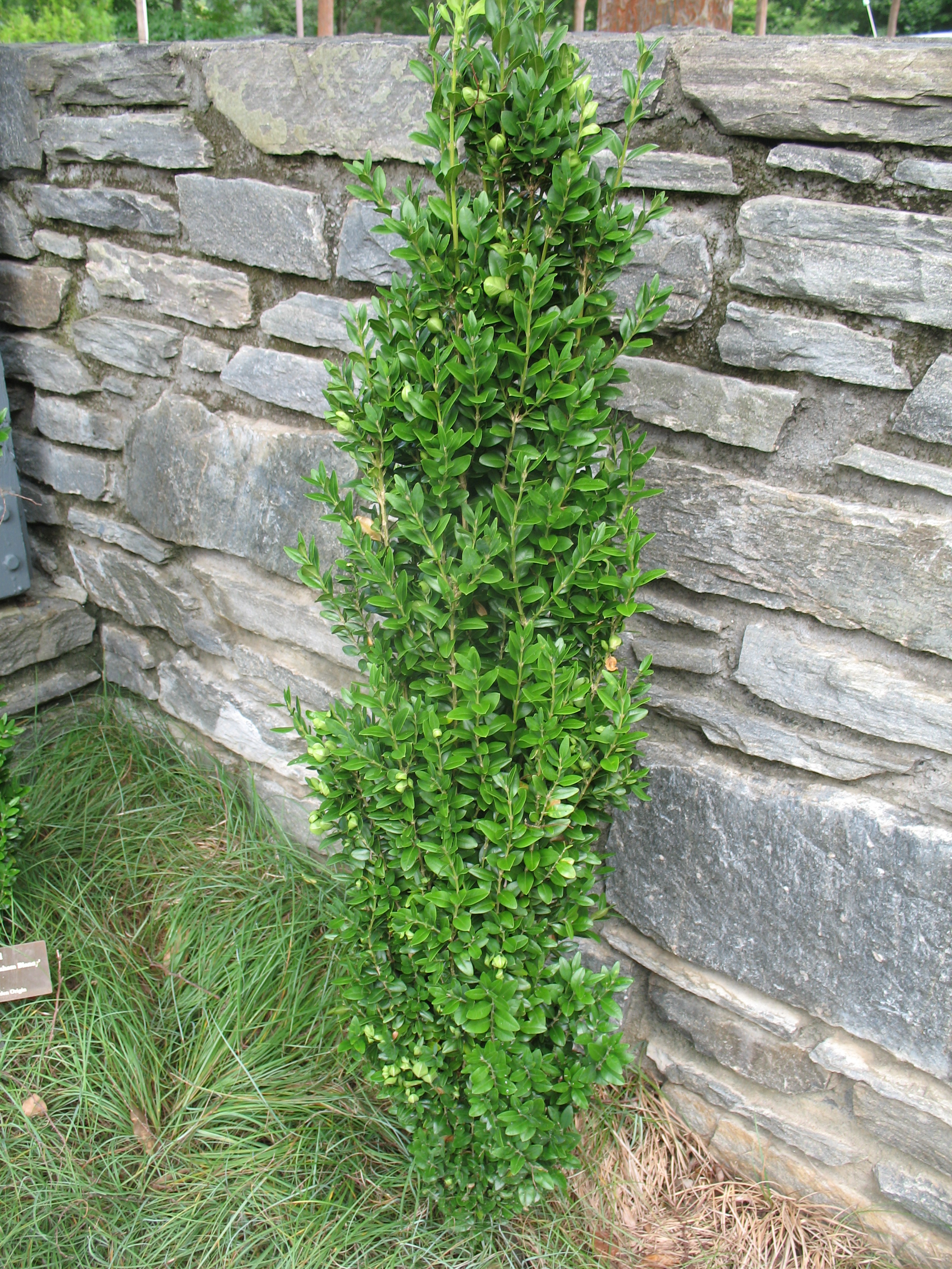Buxus sempervirens 'Graham Blandy' / Buxus sempervirens 'Graham Blandy'