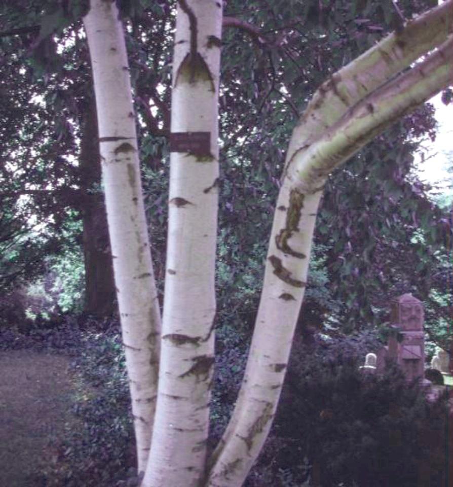 Betula papyrifera / Betula papyrifera