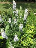 Larkspur / Consolida species