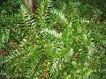 Holly Leaf Fern / Cyrtomium falcatum