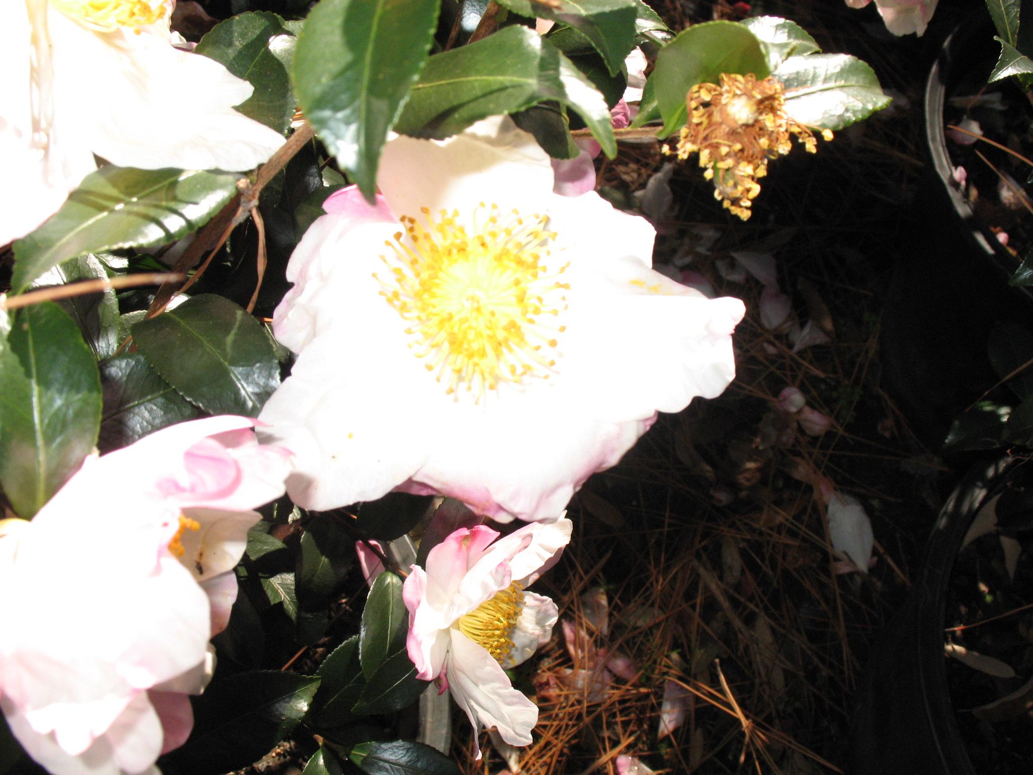 Camellia sasanqua 'Hana Jeman'  / Camellia sasanqua 'Hana Jeman'