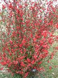 Spitfire Flowering Quince / Chaenomeles speciosa