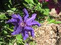 The President Clematis / Clematis