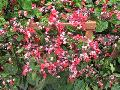 Flaming Glorybower / Clerodendrum splendens