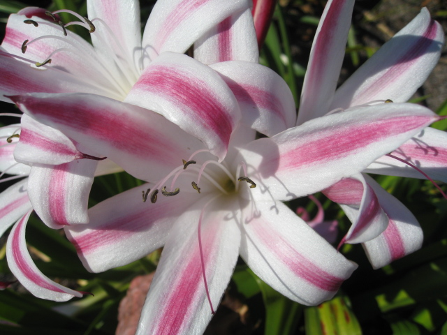 Crinum 'Stars and Stripes' / Crinum 'Stars and Stripes'