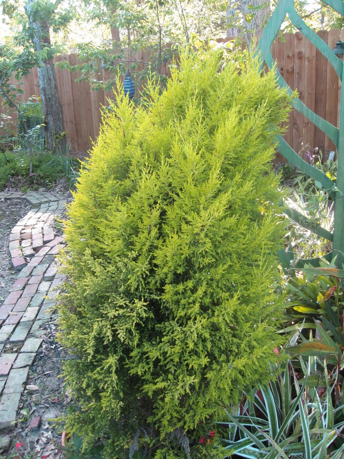 Cupressus macrocarpa 'Goldcrest'  / Cupressus macrocarpa 'Goldcrest'
