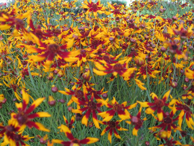 Coreopsis tinctoria 'Mardi Gras' / Coreopsis tinctoria 'Mardi Gras'