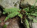 Woolly Lip Fern 1 / Cheilanthes tomentosa