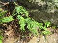 Alabama Lip Fern / Cheilanthes alabamensis