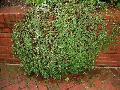 Chinese Bearberry / Cotoneaster dammeri