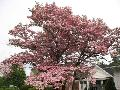 Pink Flowering Dogwood / Cornus florida f.