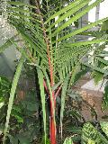 Lipstick Palm, Sealing Wax Palm / Crytostachys renda
