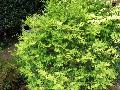Japanese False Cypress / Chamaecyparis pisifera