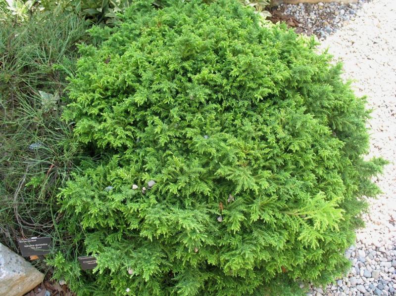 Cryptomeria japonica 'Wood's Dwarf'  / Cryptomeria japonica 'Wood's Dwarf'