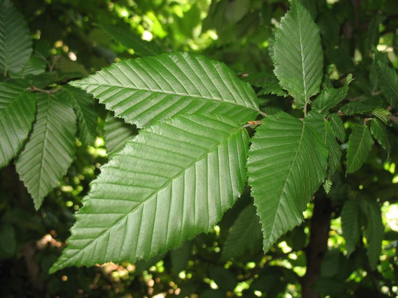 Carpinus betulus  / Carpinus betulus