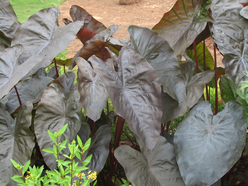 Colocasia 'Diamond Head' / Colocasia 'Diamond Head'