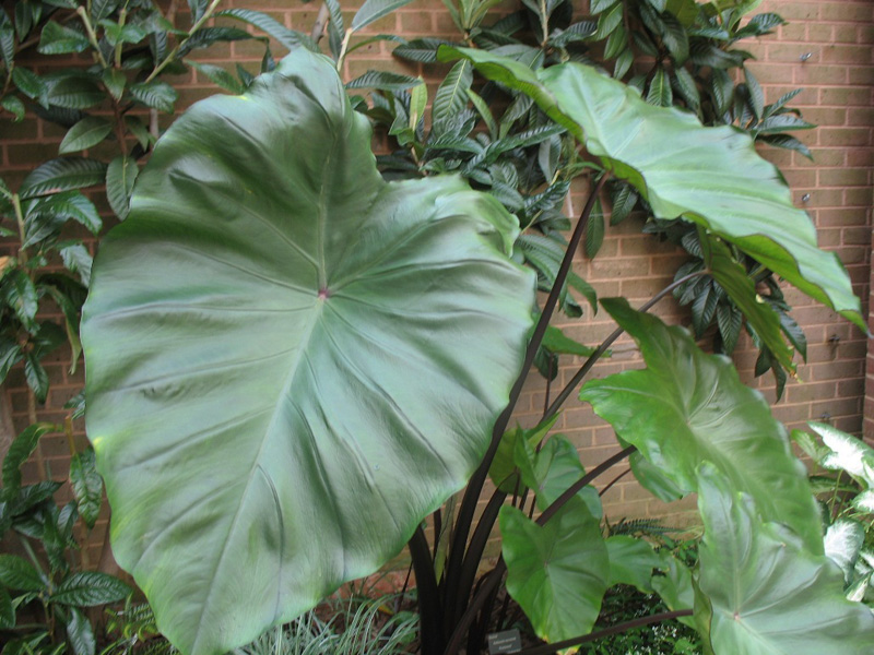 Colocasia esculenta 'Fontanesii' / Black Stem Elephant Ear