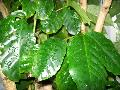Coffee Plant / Coffea arabica