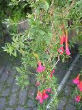 Sacred Flower of the Andes, Scared Flower of the Incas / Cantua buxifolia