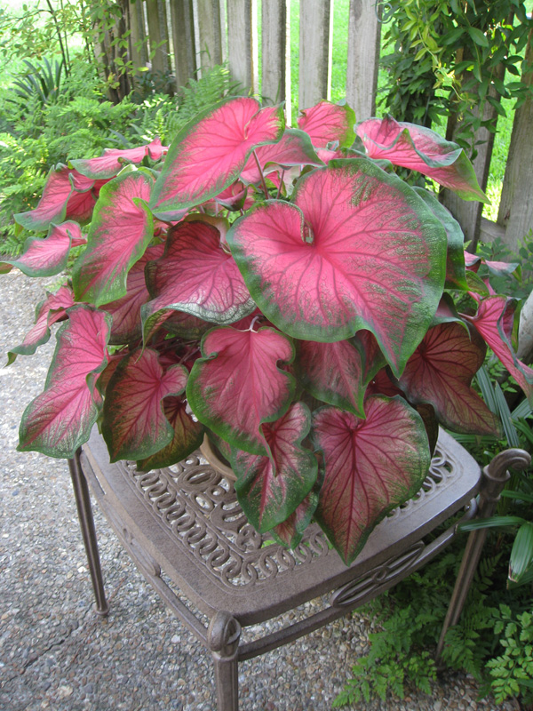Caladium bicolor 'Florida Sweetheart'   / Caladium bicolor 'Florida Sweetheart'