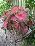 Florida Sweetheart Caladium / Caladium bicolor