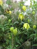 Golden Clematis or Old Man