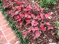 Red Ruffles Caladium / Caladium